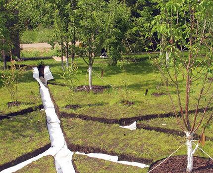 Посадка деревьев около дрены