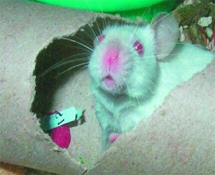 Повреждение утепления трубы мышами