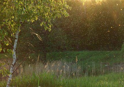 Рой мошкары над влажной почвой