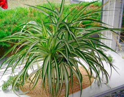 Растение хлорофитум на подоконнике