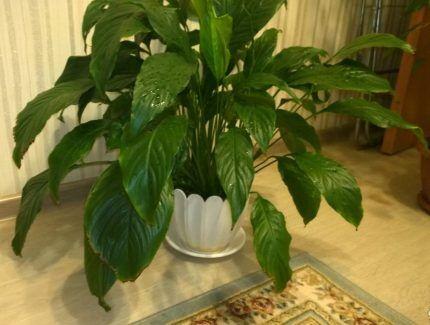 Комнатное растение средних размеров